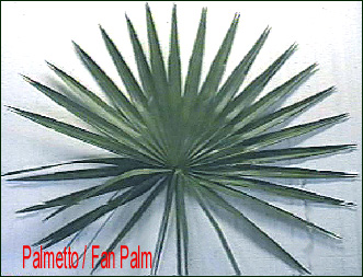 palmetto / fan palm